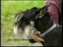Svod plemeníků - Knírač malý černostříbřitý 23.9.1995