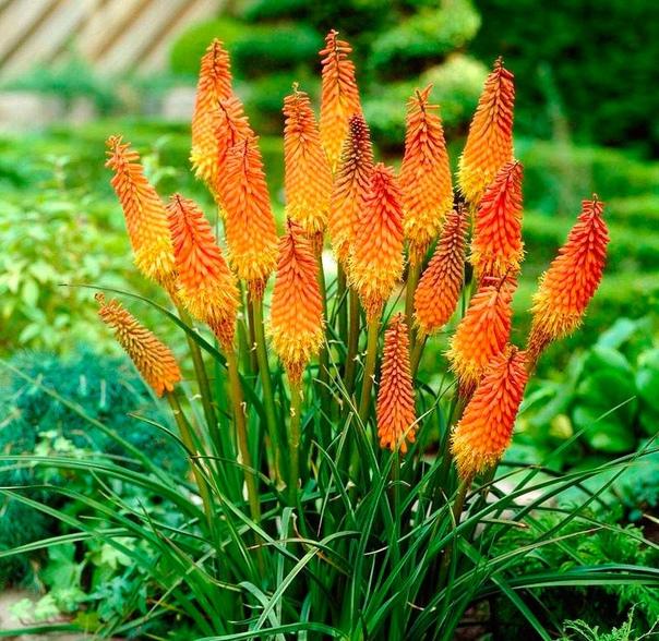 книфофия все чаще экзотические растения прибывшие к нам с других континентов становятся желанными обитателями наших участков, и привносят в привычную гамму форм и расцветок абсолютно неожиданные