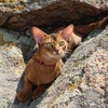 Абиссинские кошки питомника Shafran