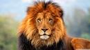 Уменьшение численности больших кошек и других животных за последние 50 лет The Decline of Some Animal Species in the Last 50 Years