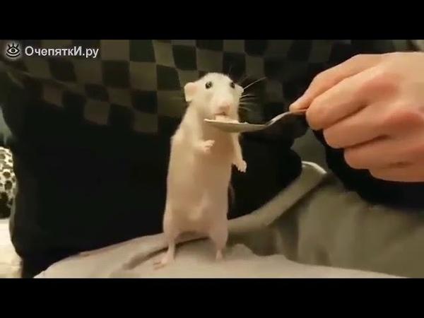 Крыса ест с ложки просмотрите круто, мило.