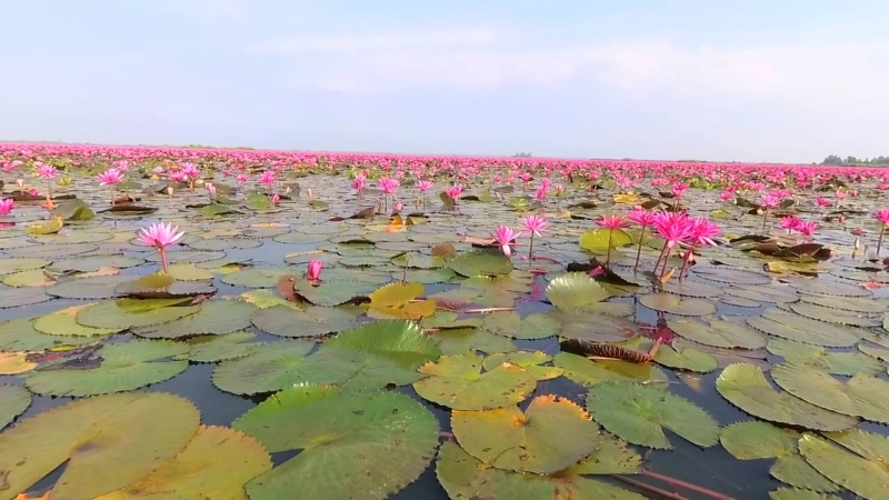 2 Озеро Красных Лотосов в Таиланде - Talay Bua Dang (Red Lotus Lake)