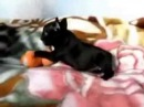 Little Pup Is a Real Demon  Щенок - маленький дьяволенок