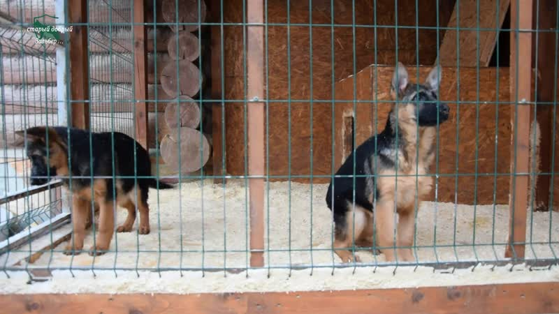 Puppies from Mike vom Schloss Rugland and Zilber Wasserfall Yosha KATANA and KOBRA