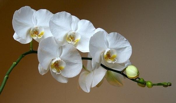 Как заставить орхидею цвести