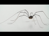 Daddy Longlegs Risk Life ... and Especially Limb ... to Survive ¦ Deep Look