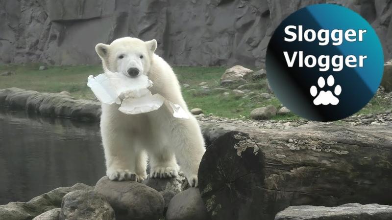 Polar Bear Cub Nanook