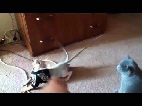 Sphynx, sphinx, cat, сфинкс, кот, кошки
