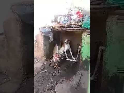 Бои без правил бешеный Петух против одной Собаки.( rabid dog against the cock )