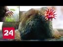 Крот-звездонос подземный Супермен - Россия 24
