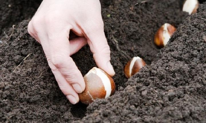 Когда сажать тюльпаны в открытый грунт осенью, на какую глубину