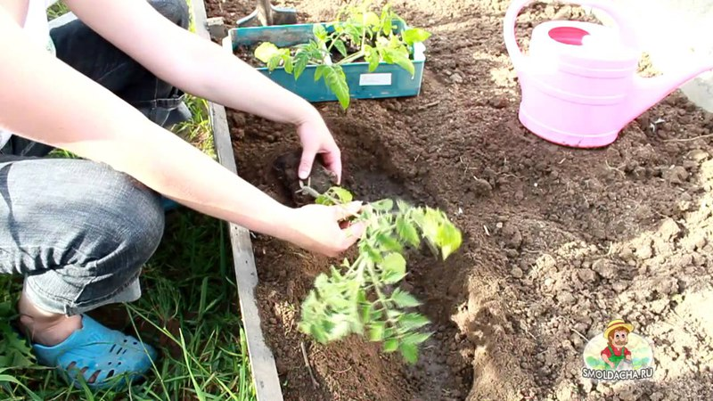 Как правильно посадить переросшую рассаду томатов