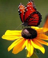 """Близнецы - Схема вышивки  """"Красная бабочка на желтой ромашке """" - Схемы вышивки - yano4ka_toxic - Авторы..."""