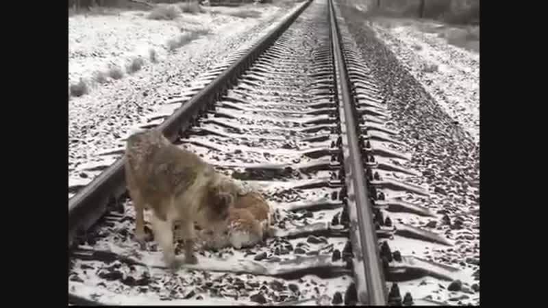 Пес два дня защищал раненую собаку от поезда, ложась на рельсы рядом с ней!