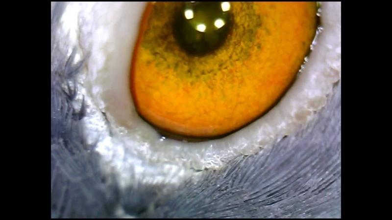 Офтальмологическое обследование сизого голубя