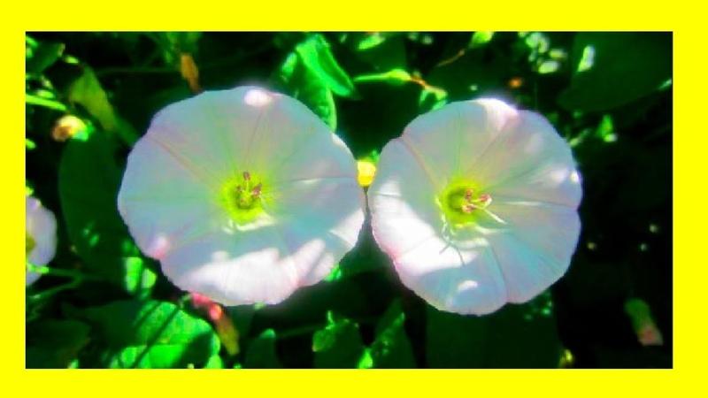 Полевые цветы вьюнки Этот прекрасный мир!🌺