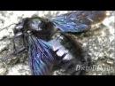 Xylocopa violacea - violet carpenter bee (Apidae Bumblebee) - Abelhão Brasil