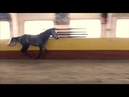 Esuhorses Koranda 2016 young horse by Cornet-Obolensky