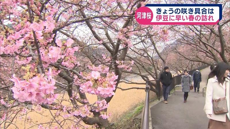 河津桜 2月11日の咲き具合は 伊豆に春告げる河津桜まつり