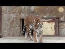 Алтайчик и Тайганчик тигрята Скарлетт Altaychik and Taiganik Tiger cubs Scarlett
