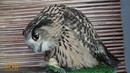 Элегантно тошнящая сова Филин скидывает погадку