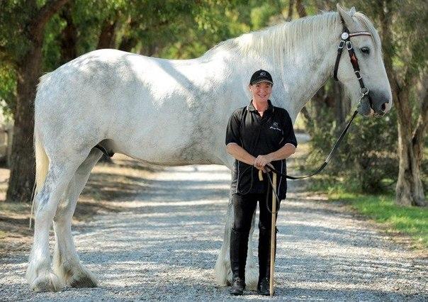 Два коня-рекордсмена - слева - 250 см, справа - 213!