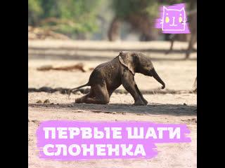 Слоненок делает первые шаги