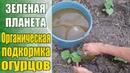 Супер удобрение для супер урожая Выращивание огурцов Первая подкормка после высадки в грунт