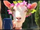 Самарский оракул коза Забияка предсказала исход встречи Дания Австралия