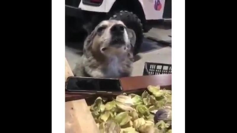 Собакен меломан