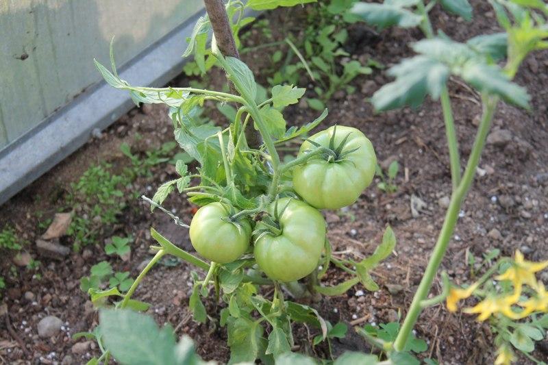 Фотоальбом «Осень - а что в саду и огороде»-Последние помидоры