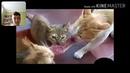 Незасмейся челенж кошки. Засмеялся-проиграл с тебя лайк и подписка. Часть 1