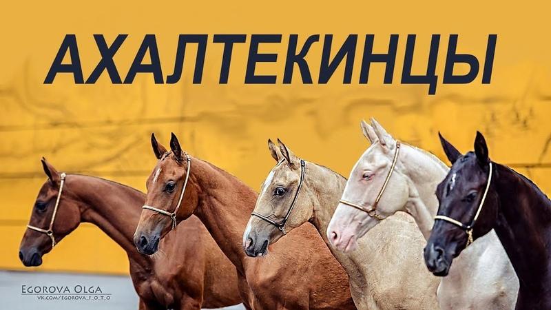 Небесные кони Ахалтекинцы ИППОсфера Породный ринг Северная Звезда Hipposphere AkhalTeke horses