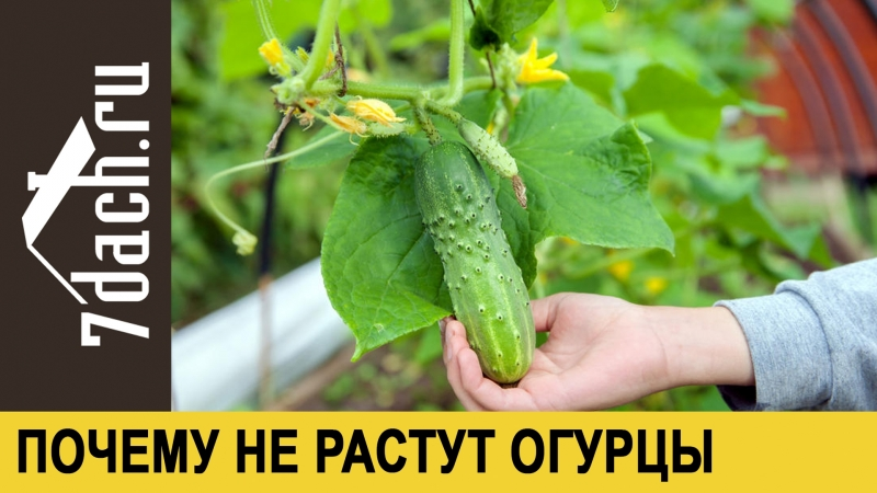 🥒 Почему не растут огурцы - 7 дач