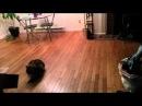 Кот поймал летучую мышь (Not Vine)