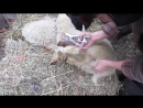 Кастрация баранчиков с помощью щипцов и колец