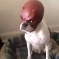 Daredevil Dog
