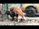 Лабрадоры Джол и Мариша. Ждём щенков в январе. Labradors Jol and Marisha.