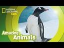 Gentoo Penguin 🐧 AMAZING ANIMALS