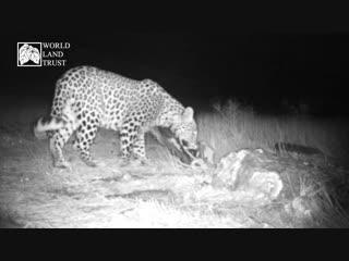 Trail camera captures rare footage of Caucasian Leopard