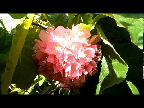 Beautiful flowering trees, Dombeya Wallichii tropical hydrangea, Домбея розовая, 022019