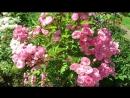 MVI 7345 молодые розы Мускусный гибрид