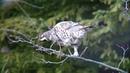 エゾライチョウ 2 苫小牧 北海道 Hazel Grouse Wild Bird 野鳥 動画図鑑