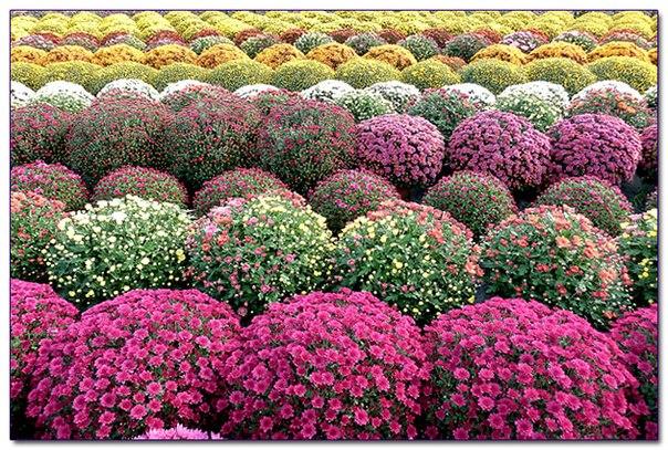 Самые красивые хризантемы фото