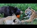 Медведь Лев и Тигр друзья по несчастью которым отлично живется вместе