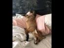 Лис не хочет вставать