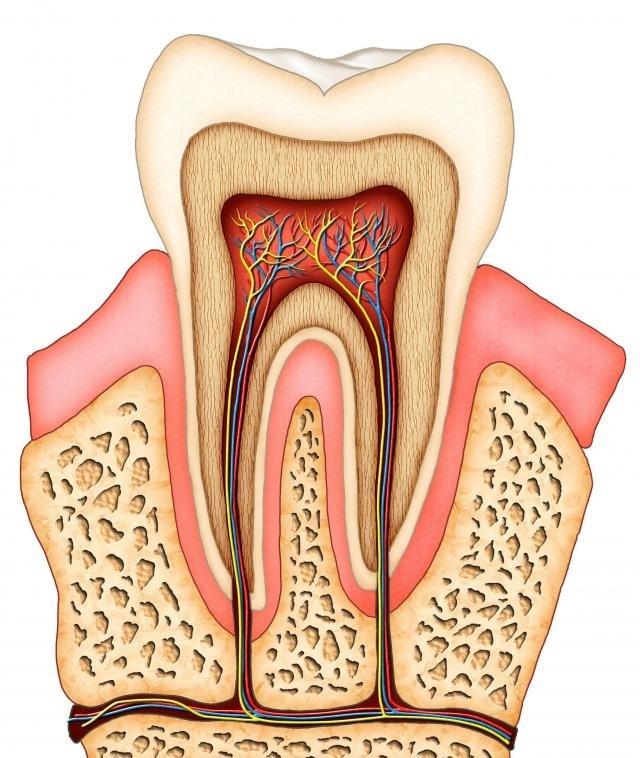 Сечение зуба.