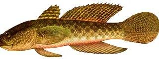 Рыбы русской рыбалки очень многообразны бычок кругляк - это небольшая