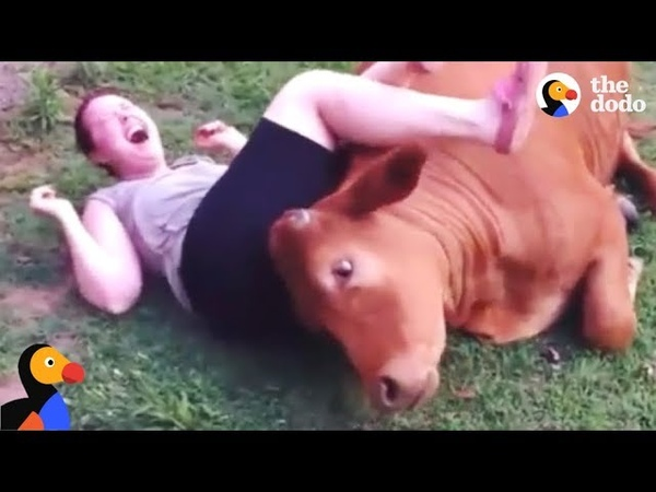 Rescued Cow Cuddles With His Family | The Dodo