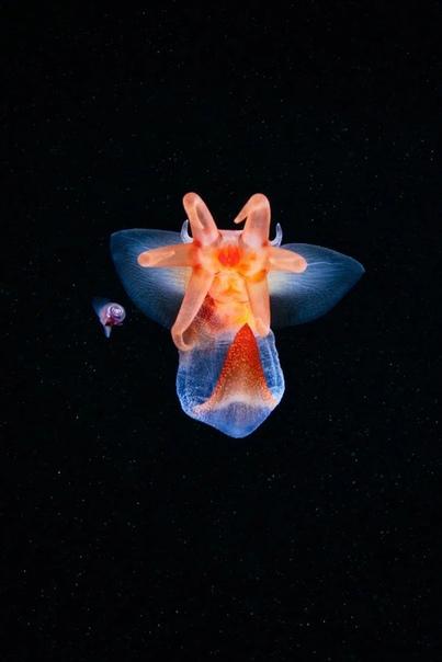 Морские ангелы широко распространены в арктических и антарктических морях.